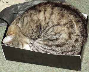 Cat sleeping in shoebox